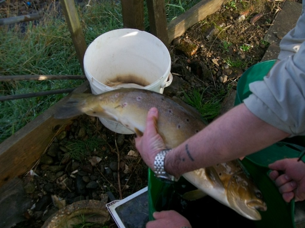 UAAA Broodstock Fish Being Prepared for Stripping