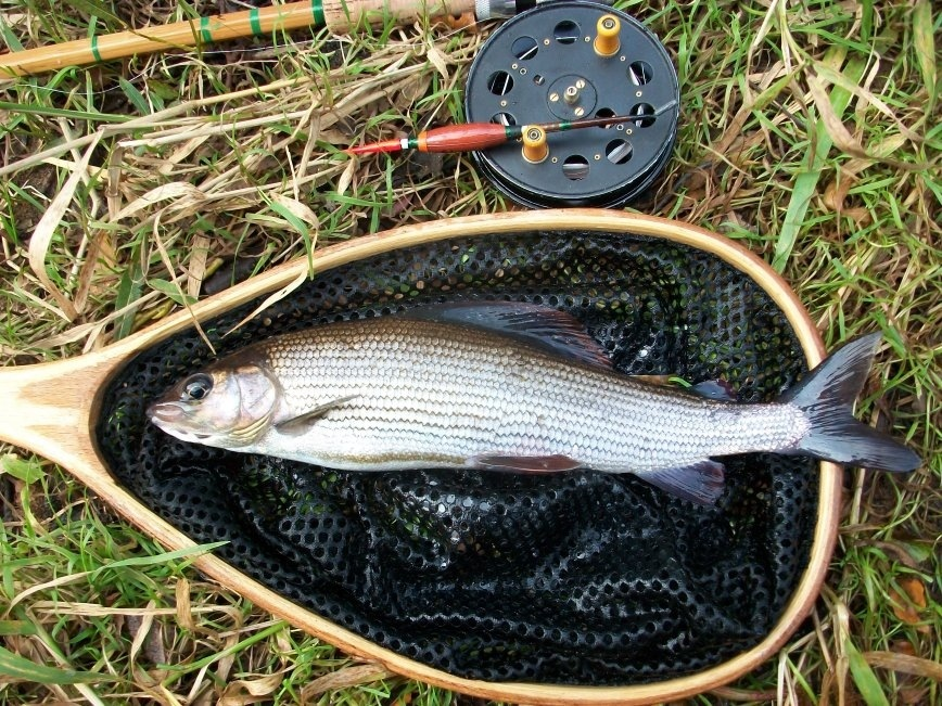 Grayling In The Net