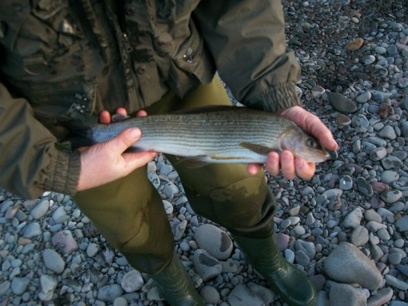 One of Wullies Grayling - was it on a Pink Bug?