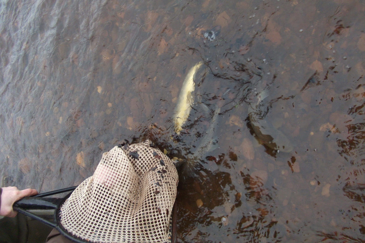 Big Trout goes into the Upper Avon March 2015